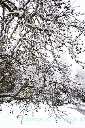 Liquidambar styraciflua in snow_4218
