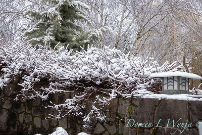 Hydrangea anomala petiolaris snowy rock wall_4594
