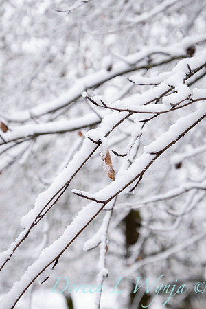 Fagus sylvatica in snow_4221