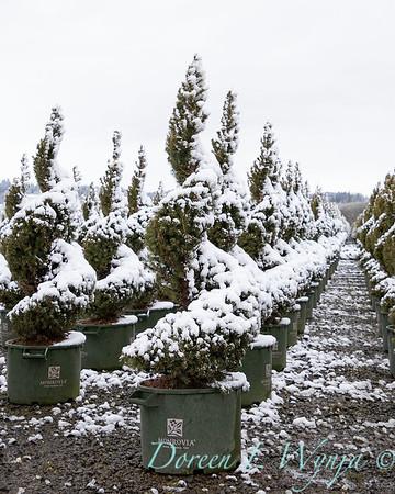Picea glauca 'Conica' spirals - can yard in snow_4116