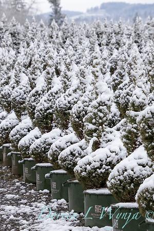 Picea glauca 'Conica' spirals - can yard in snow_4119