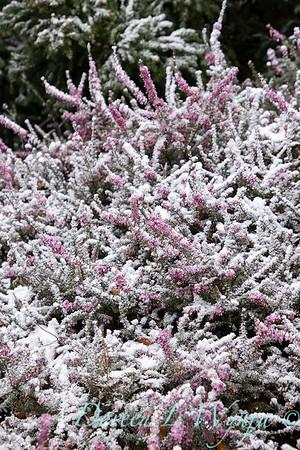 Erica x darleyensis 'Kramer's Rote' in snow_4236