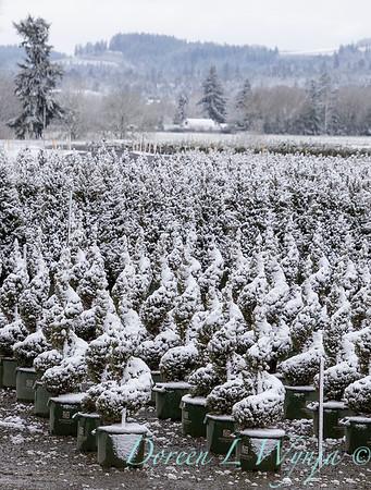 Picea glauca 'Conica' spirals - can yard in snow_4113
