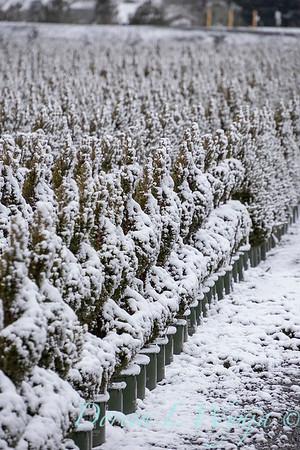 Picea glauca 'Conica' spirals - can yard in snow_4108