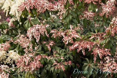 4948 Pieris japonica 'Sincere' Sunsprite_0916