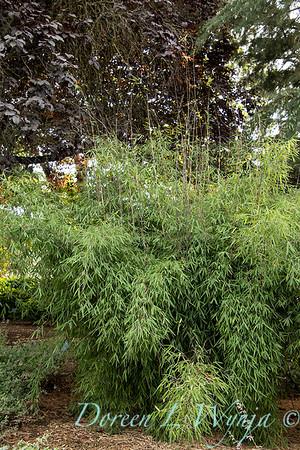 5711 Fargesia nitida 'Jiuzhaigou' red clumping_2652