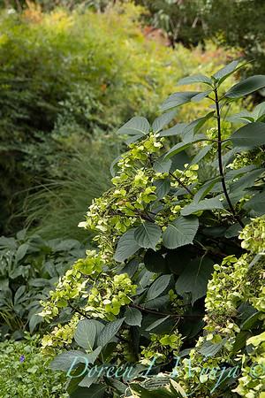 9275 Hydrangea macrophylla 'Monmar' Blue Enchantress in a landscape_2589