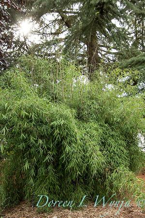 5711 Fargesia nitida 'Jiuzhaigou' red clumping_2649
