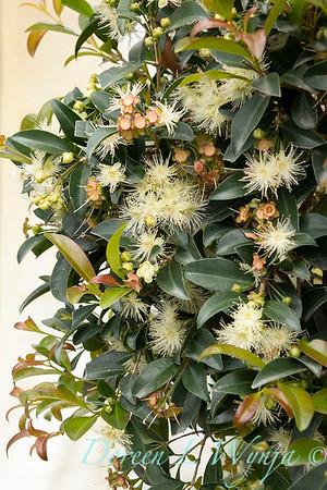 3342 Eugenia myrtifolia 'Monterey Bay'_9495