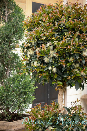 3342 Eugenia myrtifolia 'Monterey Bay' 2 ball_9499