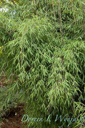 5711 Fargesia nitida 'Jiuzhaigou' red clumping_2655