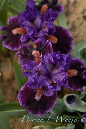 Sebright Iris_113