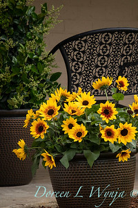 43002 Helianthus x hybridus 'Tmsunbelieve01' SunBelievable_1074
