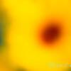 43002 Helianthus x hybridus 'Tmsunbelieve01' SunBelievable_1122