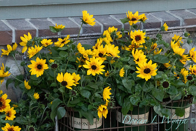 43002 Helianthus x hybridus 'Tmsunbelieve01' SunBelievable_1102