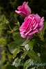 Rosa 06-01781 two_7042