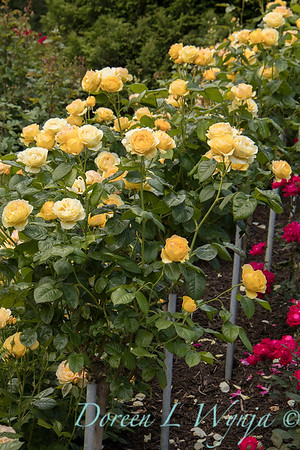 Rosa 'Walking on Sunshine' yellow rose_3050