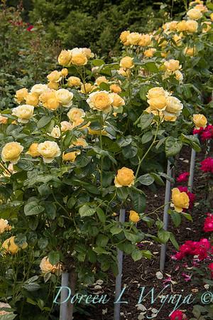 Rosa 'Walking on Sunshine' yellow rose_3050