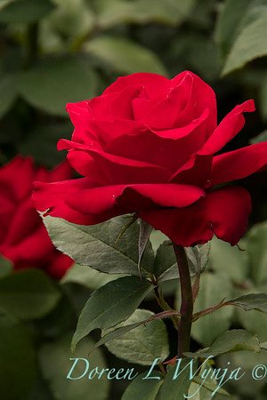 Rosa hybrid tes 'Opening Night'_9906