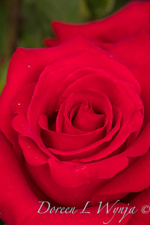 Rosa hybrid tea 'Veteran's Honor' red rose_3074