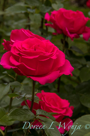 Rosa hybrid tea 'Voluptuous' red rose_3099