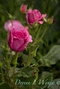 Rosa 06-01781 two_7034
