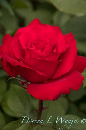 Rosa hybrid tes 'Opening Night'_9904