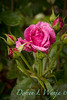 Rosa 06-01781 two_7025