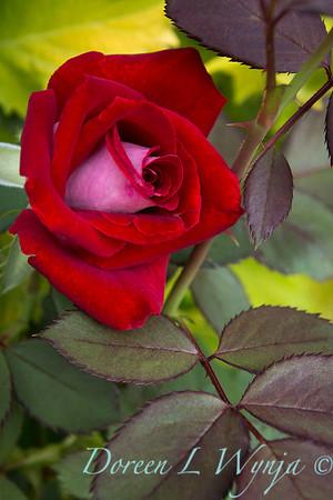 Rosa 04-00578 0r 06-02042_5284