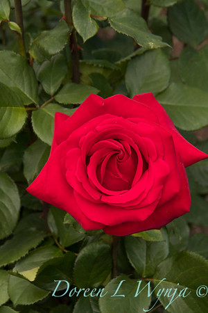 Rosa hybrid tea 'Veteran's Honor' red rose_3076