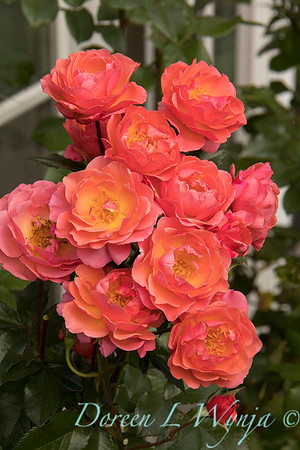 Rosa 05-03575_4704