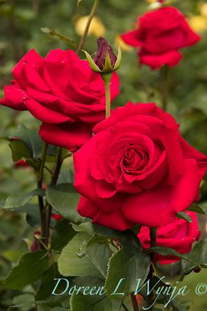 Rosa hybrid tea 'Veteran's Honor' red rose_3071