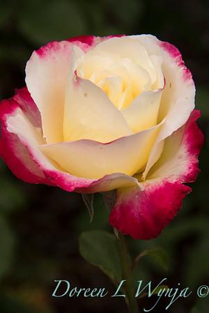 Rosa 'Double Delight'_4083