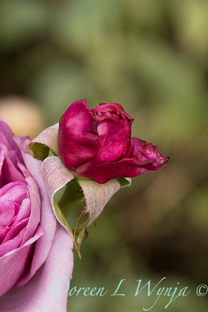 Rosa 06-01781_4737