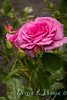 Rosa 06-01781 two_7053