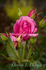 Rosa 06-01781 two_7026