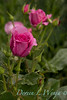 Rosa 06-01781 two_7035