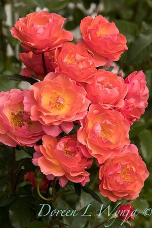 Rosa 05-03575_4707
