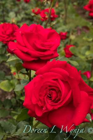 Rosa hybrid tea 'Veteran's Honor' red rose_3082