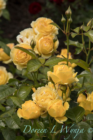 Rosa 'Walking on Sunshine' yellow rose_3060