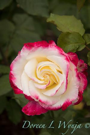 Rosa 'Double Delight'_4076