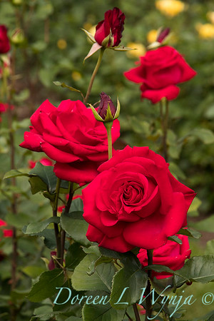 Rosa hybrid tea 'Veteran's Honor' red rose_3070