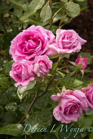 Rosa 06-01781 one_7003