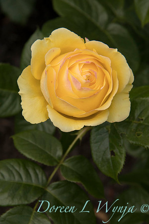 Rosa 'Walking on Sunshine' yellow rose_3067