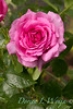 Rosa 06-01781 two_7039