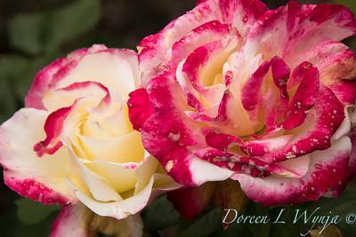 Rosa 'Double Delight'_4078