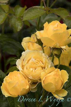 Rosa 'Walking on Sunshine' yellow rose_3061
