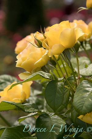 Rosa 'Walking on Sunshine' yellow rose_3056