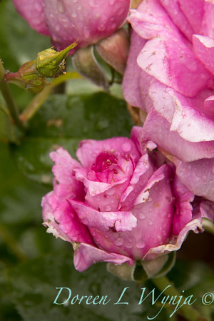 Rosa 06-01781 one_7006