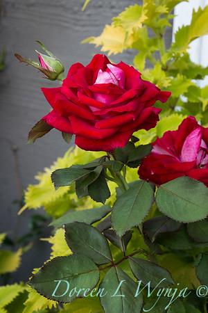 Rosa 04-00578 0r 06-02042_5283